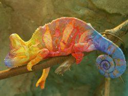 Un caméléon sur une branche
