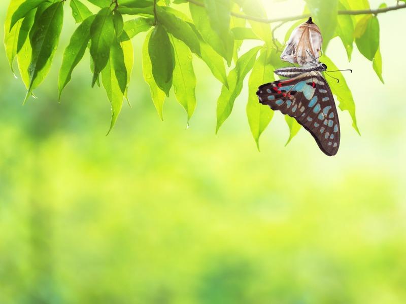 Un papillon sortant de son cocon accroché à une branche d'arbre.