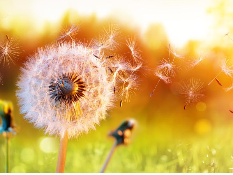 Une pissenlit dont les graines sont emportés par le vent.